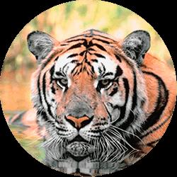 tiger-circle1