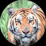 tiger-circle2-150