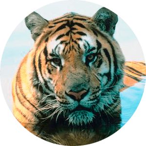 Tiger Facts and Information