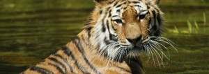 tiger-fact6