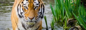 tiger-facts9