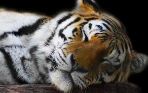Tiger Poaching.