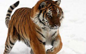 Species of tiger.