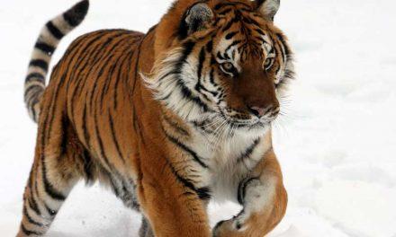 Tiger Subspecies