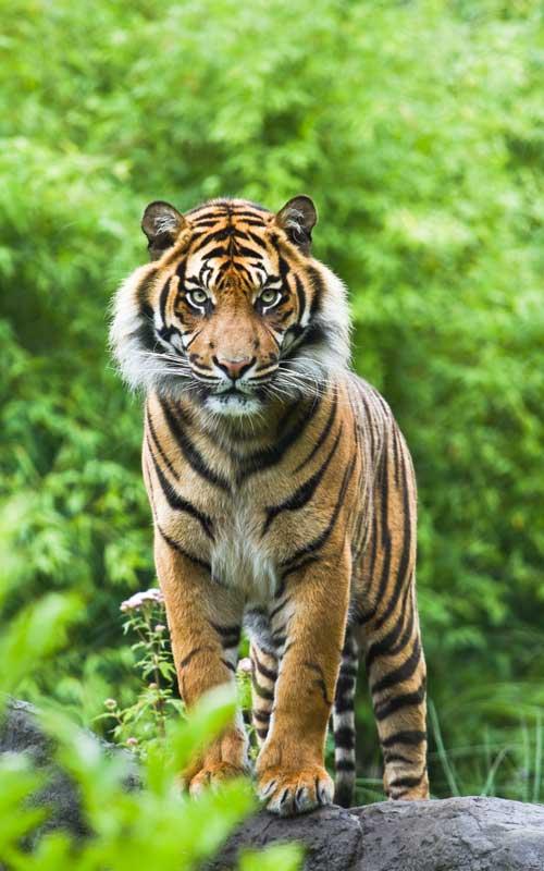 Datos sobre el tigre de Bengala.