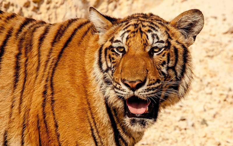 Tigre del Sur de China