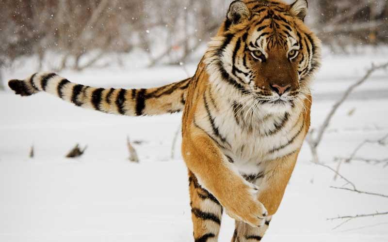 Información sobre el tigre siberiano.