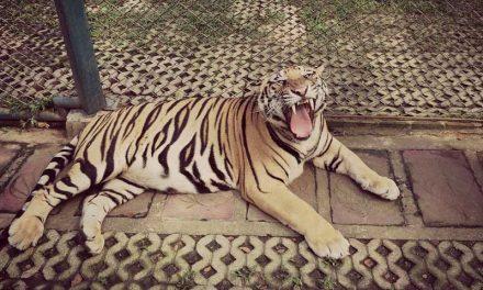 Tigres en Cautiverio