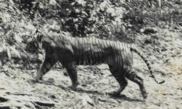 Subespecies Extintas de Tigre