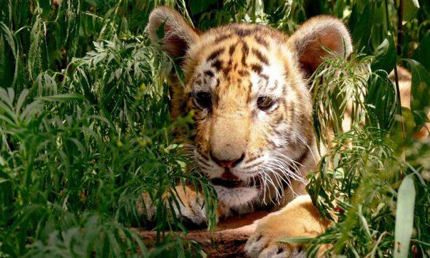 Tigres y Seres Humanos