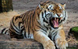 Tiger sounds.